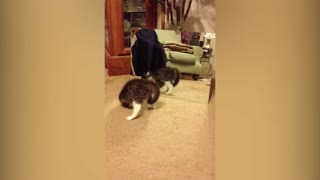 Kitten Has Adorable Reaction To Seeing Own Reflection - Video