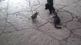 Parrot shows dog who's boss! Cat acts as neutral spectator...