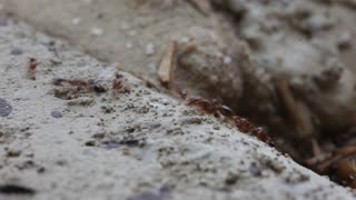 Fire Ants marching - Video