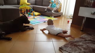 Baby practices to crawl around family's Pit Bull - Video