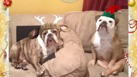 Grinch bulldog has hysterical reaction to everything Christmas