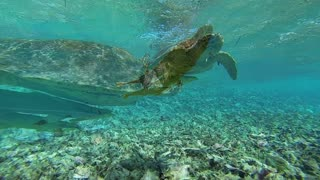 Snorkeler Shocked When Hungry Turtle Bites Camera