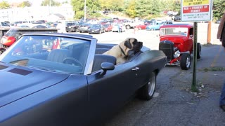VERY BIG DOG looks cool in a Convertible Classic Car