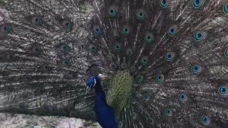 Skywalker the peacock