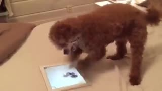 Dog is intensely into iPad game - Video