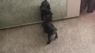Puppy barks at his reflection in the mirror