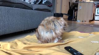 Half blind dog can't figure out where noise voice is coming from