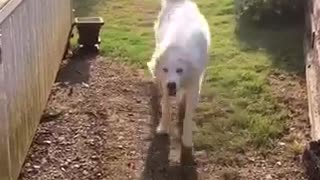 White dog on grass dancing in mist of yellow sprinkler - Video