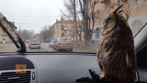 Cute Pet Owl Captivated By Windshield Wipers