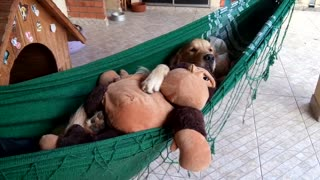 Golden Retriever cuddles toy on hammock - Video