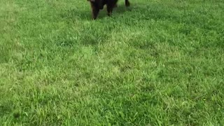 Calf Plays with his Dog Friends