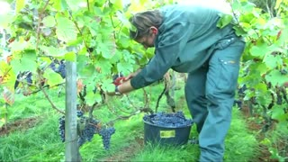Grape-picking begins in Paris vineyard - Video