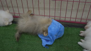 Pomeranian Dogs Playing With Fun Blue Clothes