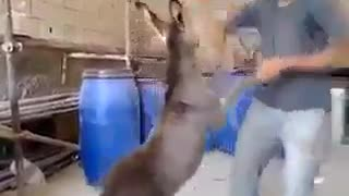 Boy is dancing with baby donkey  - Video