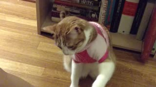 Amadeus the cat shows off all of his tricks - Video