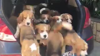 Dozen Beagle Puppies Start Pouring Out Of The Trunk - Video