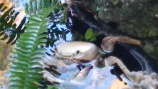 Land Crab-Snack Time