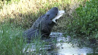 Alligator eating a large softshell turtle in Florida wetlands
