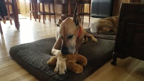 Great Dane relaxing by sucking on his teddy bear