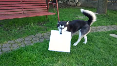 Dog Takes A Walk With Pizza Box In Her Mouth