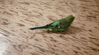 The green parrot is on the floor in my house.