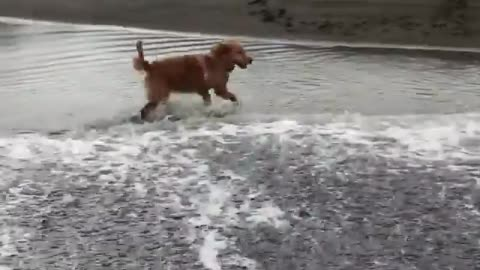 Dog Attempts To Escape Ocean Wave But Falls Into Waterhole