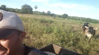 Defensive Cow Chases Motorcyclist