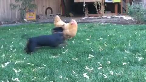 Weiner dog plays with chicken