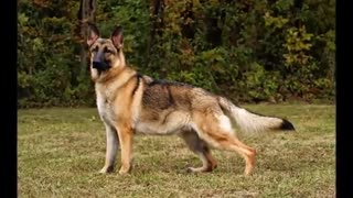 TOP 10 BIGGEST GUARD DOGS - STRONGEST DOGS IN THE WORLD - Video