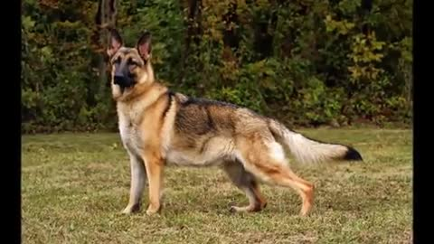 TOP 10 BIGGEST GUARD DOGS - STRONGEST DOGS IN THE WORLD