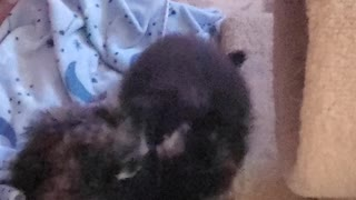 Mainecoons kittens