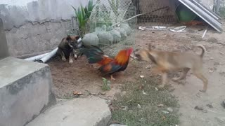 chicken and dogs  - Video
