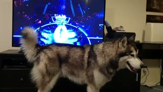 Music-loving Malamute sings along with TV program