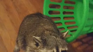 Spoiled Raccoon Grabs Gift  - Video