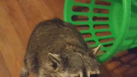 Spoiled Raccoon Grabs Gift
