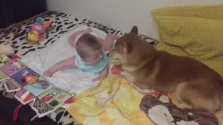 Shiba Inu preciously watches over baby