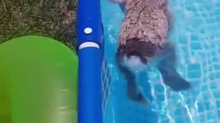 Bunny rabbit goes for relaxing swim in backyard pool