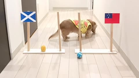 Pooches Make Rugby Predictions