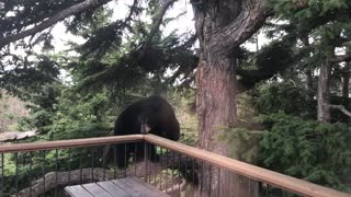 Bear Climbs Balcony for Surprise Visit