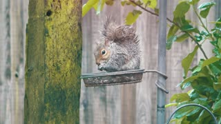Cute baby squirrel stealing nuts from a bird table  - Video