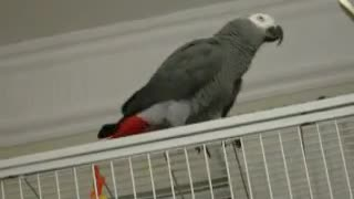 Funny parrot talking - Video