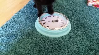 """Cat demonstrates literal translation of """"chasing time"""""""