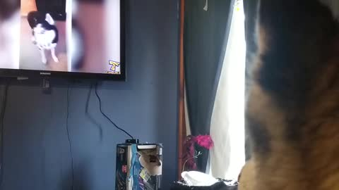 Husky barks at husky compilation video on TV