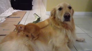 Silly Kitten Slides Off Dog's Back & Gets Sniffed - 3 Weeks Old - Golden Retriever - Video