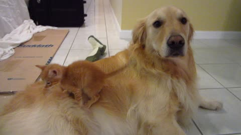 Silly Kitten Slides Off Dog's Back & Gets Sniffed - 3 Weeks Old - Golden Retriever