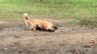 Golden retriever rolls around in the mud - Video