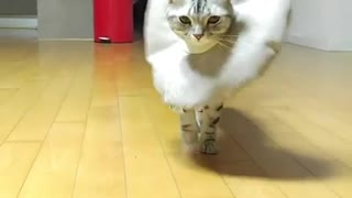 Cat Practices Runway Walk - Video