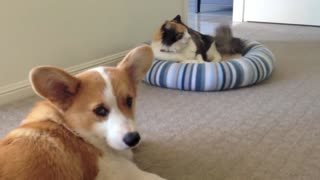 Corgi puppy struggles to befriend cat - Video