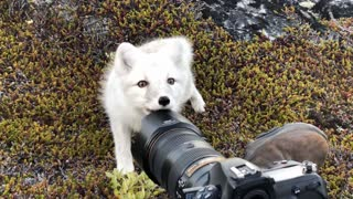 Encountering a Young Wild White Arctic Fox in Greenland