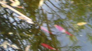 fish swimming in the pond - Video